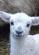 lamb1-150x150