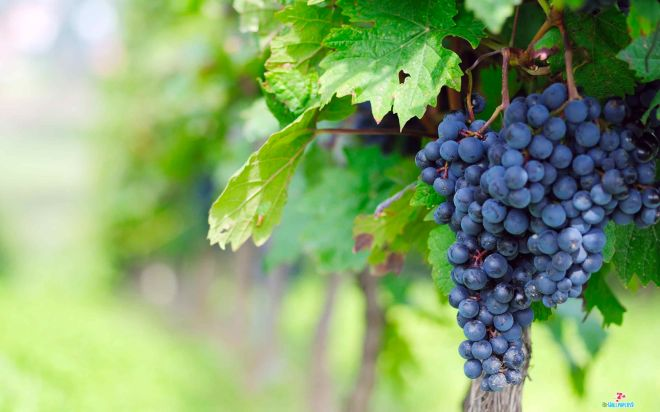 Grapes Desktop Wallpapers-023