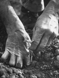 clark-ed-farmer-s-strong-work-toughened-hands-planting-in-the-garden