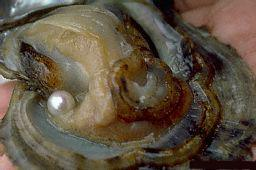 oyster-wound-brings-forth-a-pearl